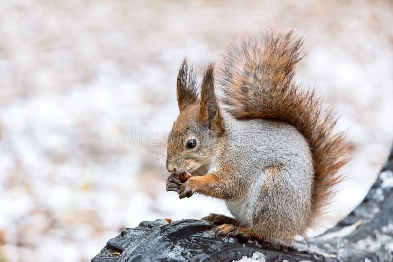 Eichhörnchen, das auf Bank sitzt und Nuss im Winterpark isst lizenzfreie stockfotografie