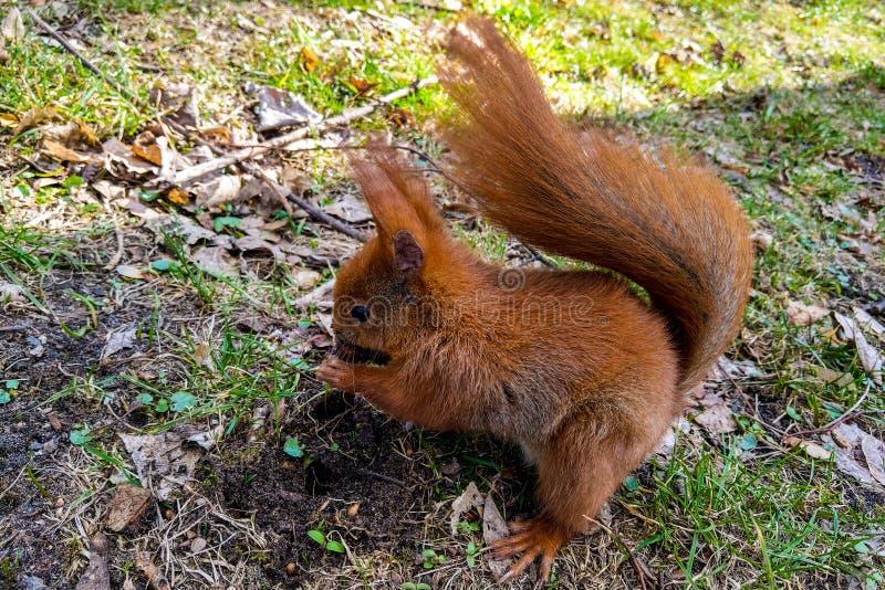 Eichhörnchen, das auf der Pflasterung im Park sitzt und eine Nuss isst lizenzfreies stockfoto