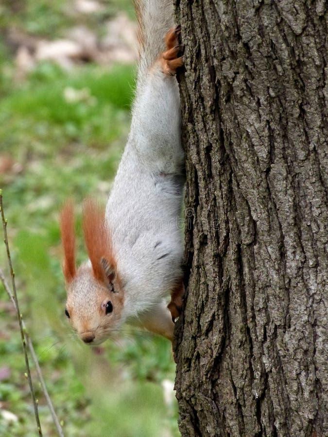Eichhörnchen, das auf der trockenen Niederlassung der Zeder sitzt lizenzfreie stockbilder