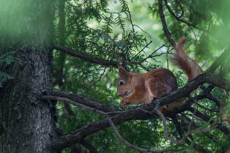 Eichhörnchen, das auf einem Baumast sitzt und eine Nuss isst stockfoto