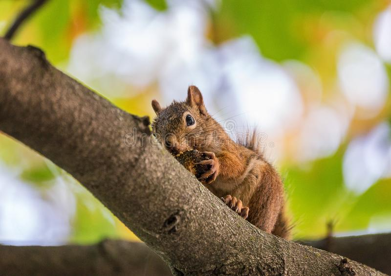 Eichhörnchen, das auf einer Niederlassung isst lizenzfreie stockbilder