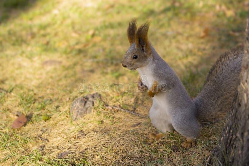 Eichhörnchen, das auf Gras steht lizenzfreies stockbild