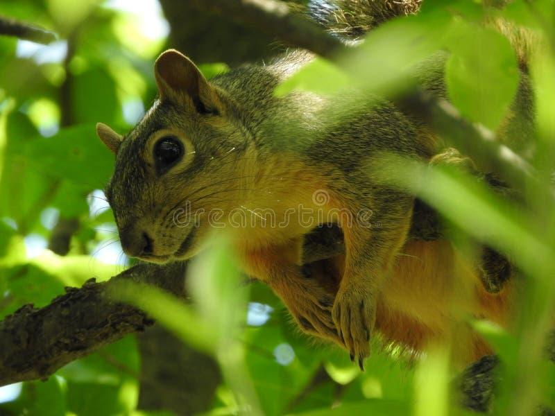 Eichhörnchen, das an der Niederlassung hängt stockfotografie
