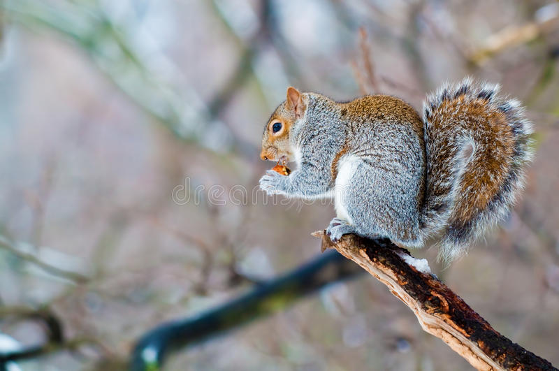 Eichhörnchen, das eine Eichel isst lizenzfreie stockfotografie