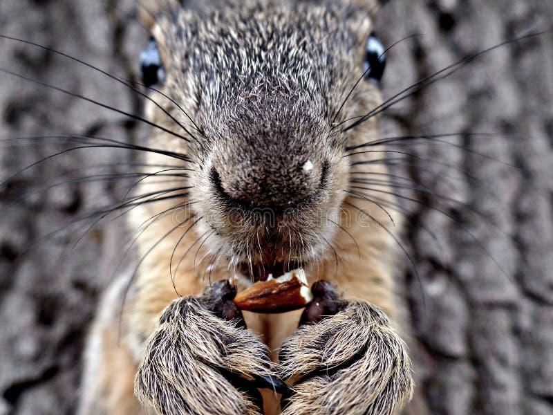 Eichhörnchen, das eine Mandelnahaufnahme isst stockfotografie