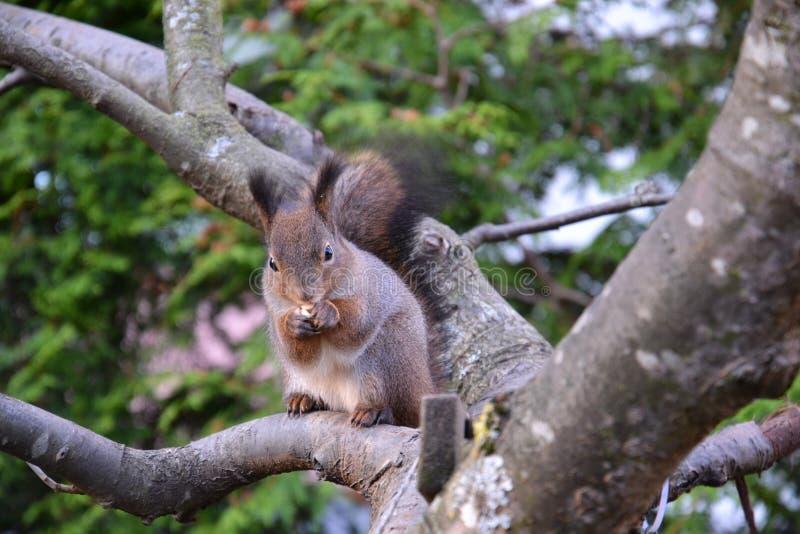 Eichhörnchen, das eine Mutter isst stockfotos