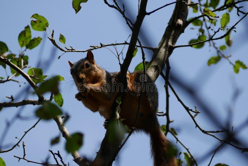 Eichhörnchen, das eine Nuss in einem Treetop isst lizenzfreies stockfoto