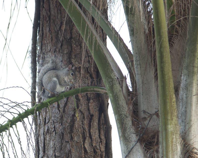 Eichhörnchen, das in einem Baum isst stockfotografie
