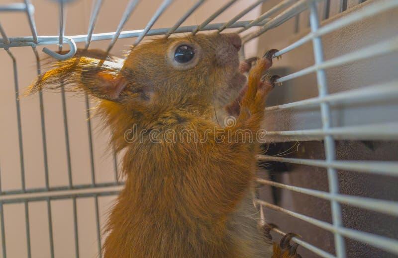 Eichhörnchen, das in einem Käfig sitzt stockfoto