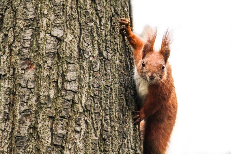 Eichhörnchen, das einen alten Baum klettert und neugierig gerade die Kamera untersucht lizenzfreie stockbilder