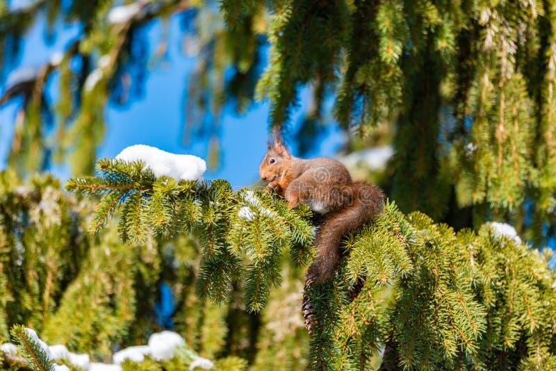 Eichhörnchen, das in einer Tanne in Schweden isst stockbild