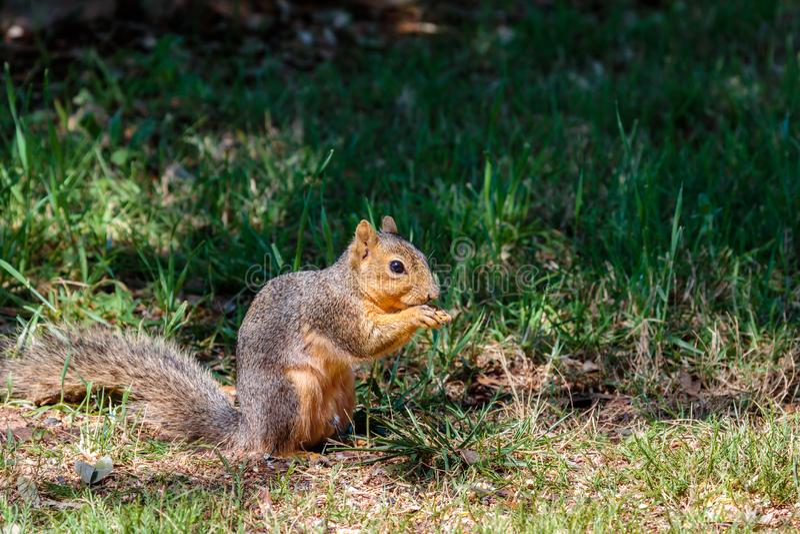 Eichhörnchen, das für Nüsse im Gras herumsucht lizenzfreie stockbilder