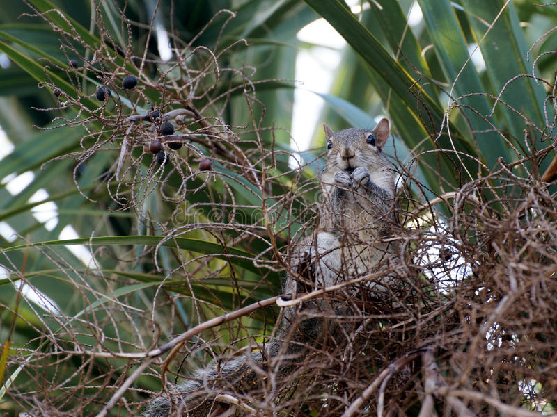 Eichhörnchen, das Frucht von der Palme isst stockfotografie