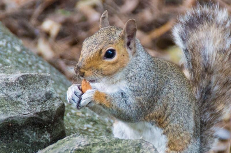 Eichhörnchen, das hinter Wand sich versteckt lizenzfreie stockbilder