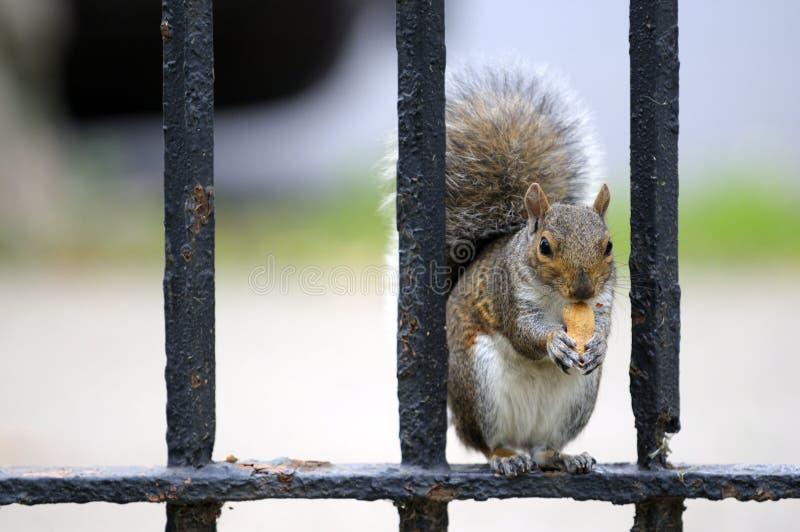 Eichhörnchen, das Imbiß isst lizenzfreie stockfotografie