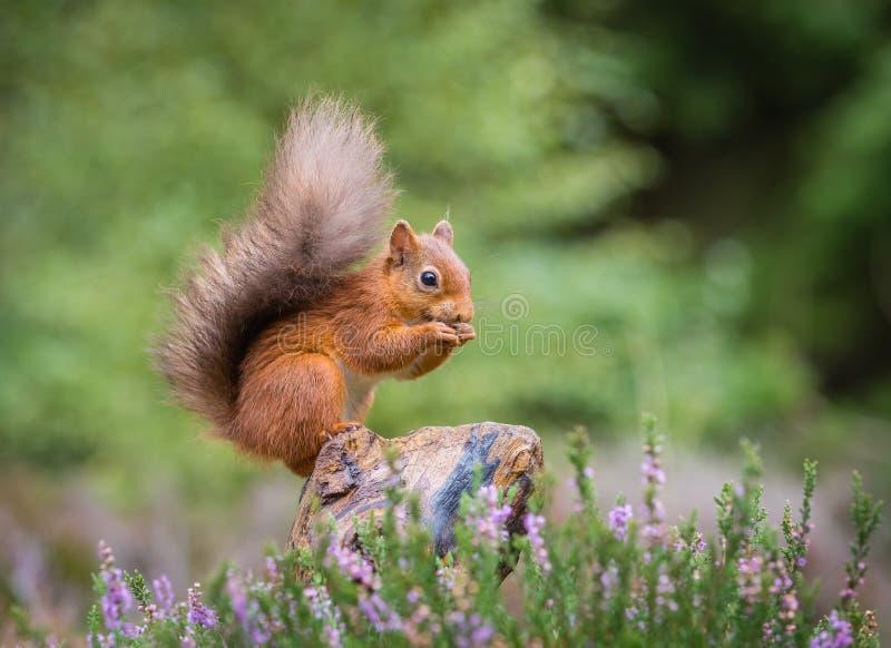 Eichhörnchen, das Lebensmittel erfasst stockbild