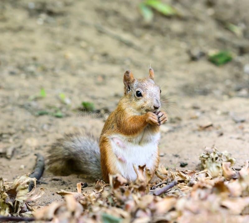 Eichhörnchen, das Muttern isst lizenzfreies stockfoto