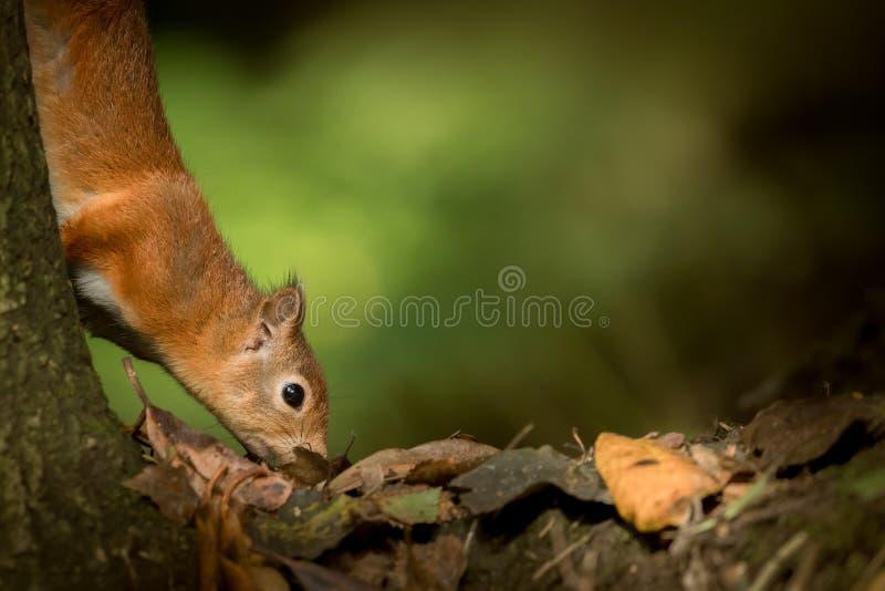 Eichhörnchen, das nach Lebensmittel sucht lizenzfreie stockfotografie