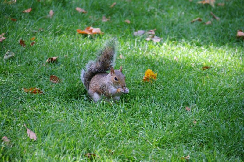 Eichhörnchen, das Nahrung und das Essen hält stockfoto