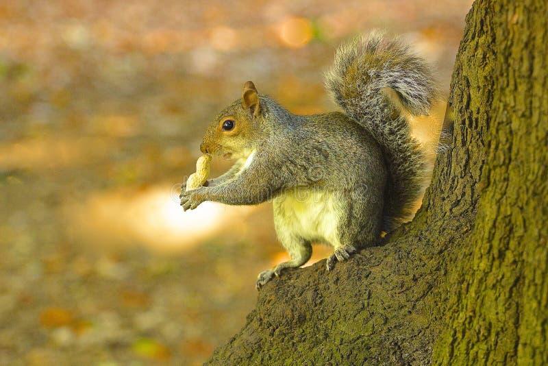 Eichhörnchen, das Nuss isst Auf Unschärfe stockfotografie