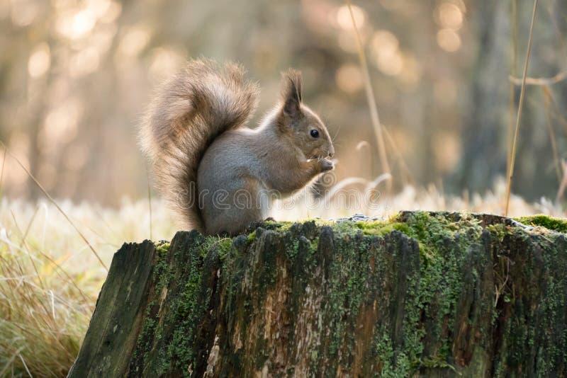Eichhörnchen, das Sonnenblumensamen im Wald isst stockbilder