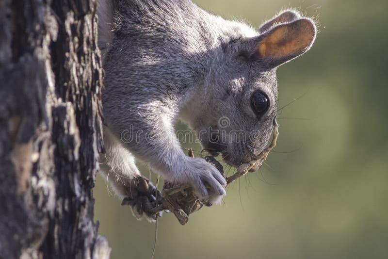Eichhörnchen, das unbekanntes Geschöpf isst lizenzfreie stockfotos