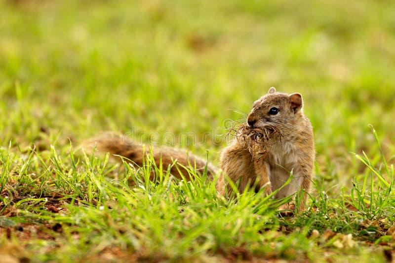 Eichhörnchen, das Verschachtelungsmaterial montiert lizenzfreie stockbilder