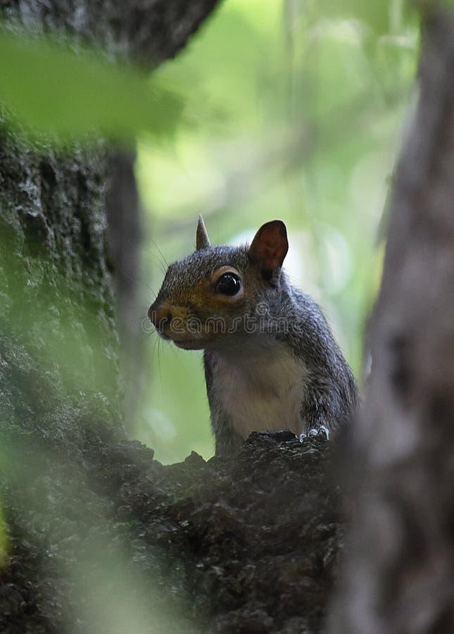 Eichhörnchen, das vom Nebel auftaucht lizenzfreie stockbilder