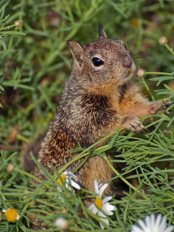 Eichhörnchen in den Blumen lizenzfreie stockfotografie