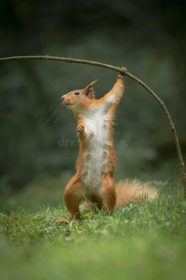 Eichhörnchen in der lustigen Haltung. stockbild
