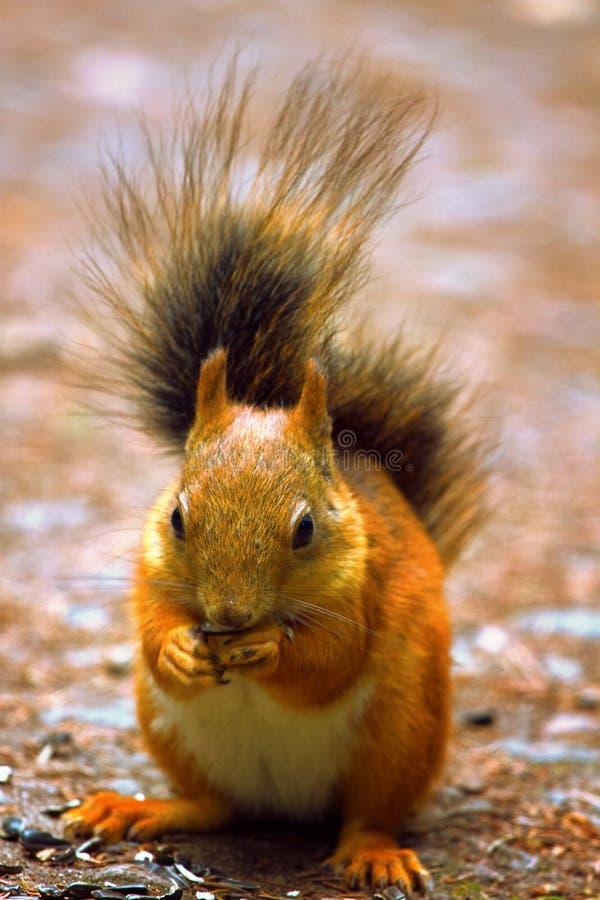 Eichhörnchen in der Parknahaufnahme stockfotografie