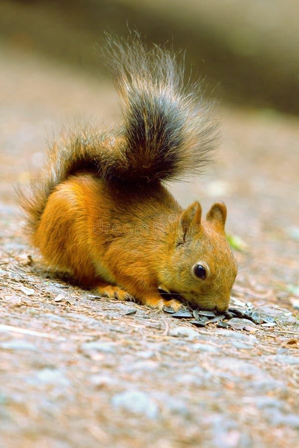 Eichhörnchen in der Parknahaufnahme stockfotos