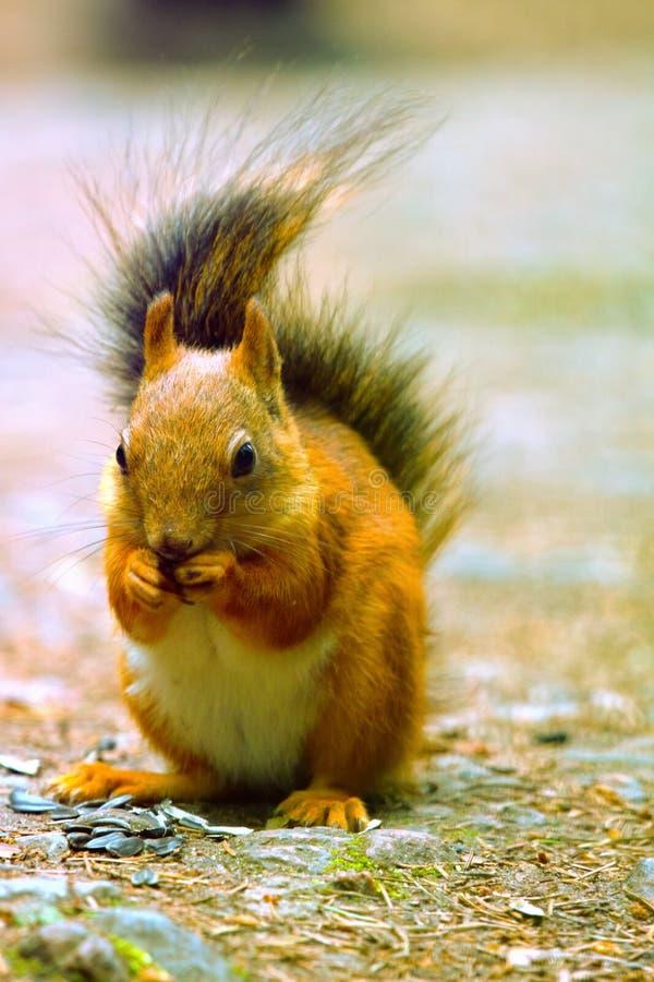 Eichhörnchen in der Parknahaufnahme stockbilder