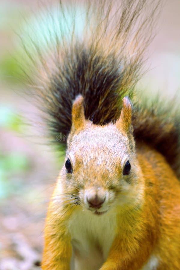 Eichhörnchen in der Parknahaufnahme stockfoto
