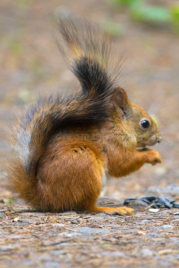 Eichhörnchen in der Parknahaufnahme auf Hintergrund von Späthölzern lizenzfreies stockbild