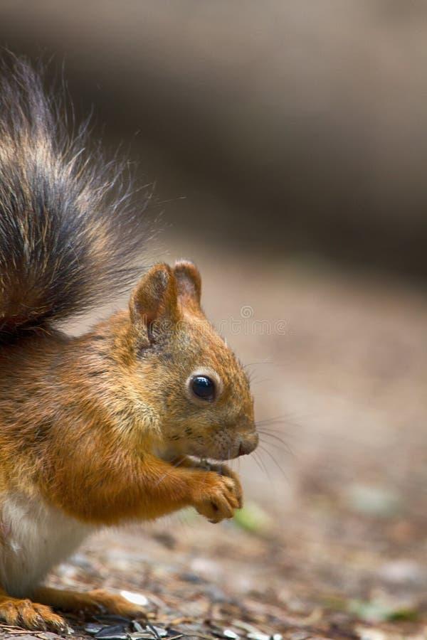 Eichhörnchen in der Parknahaufnahme auf Hintergrund von Späthölzern lizenzfreies stockfoto