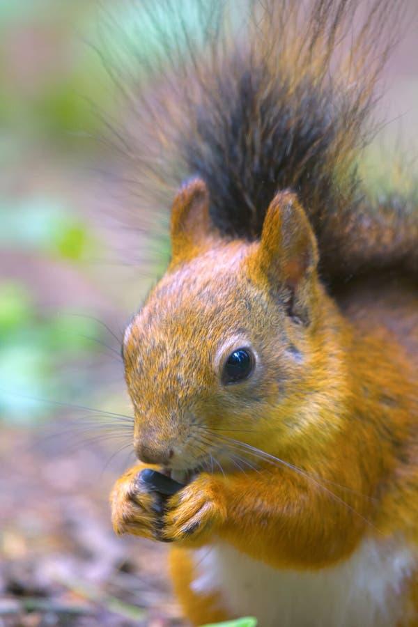 Eichhörnchen in der Parknahaufnahme auf Hintergrund von Späthölzern stockfotografie