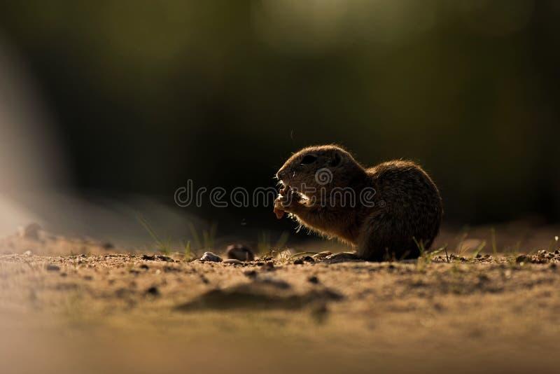 Eichhörnchen in der Tschechischen Republik der Natur lizenzfreie stockfotografie