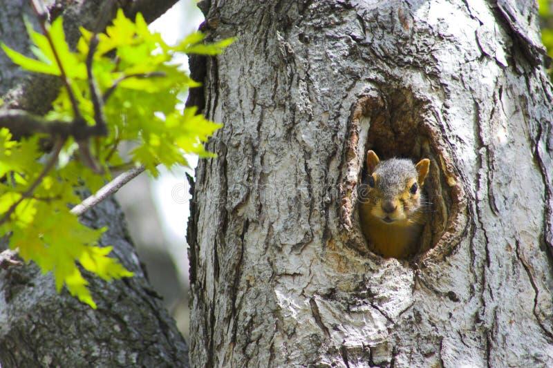 Eichhörnchen in einem Baum lizenzfreie stockbilder