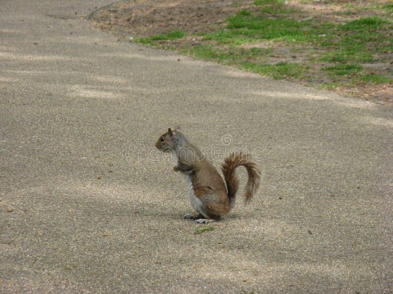 Eichhörnchen in einem London-Park stockfoto