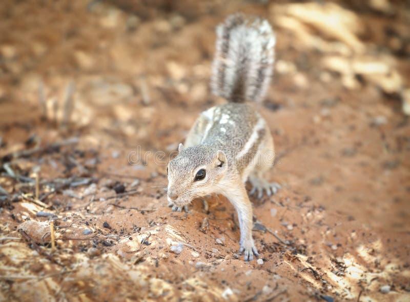 Eichhörnchen in einem natürlichen Lebensraum, Tal des Feuer-Nationalparks, USA stockbild
