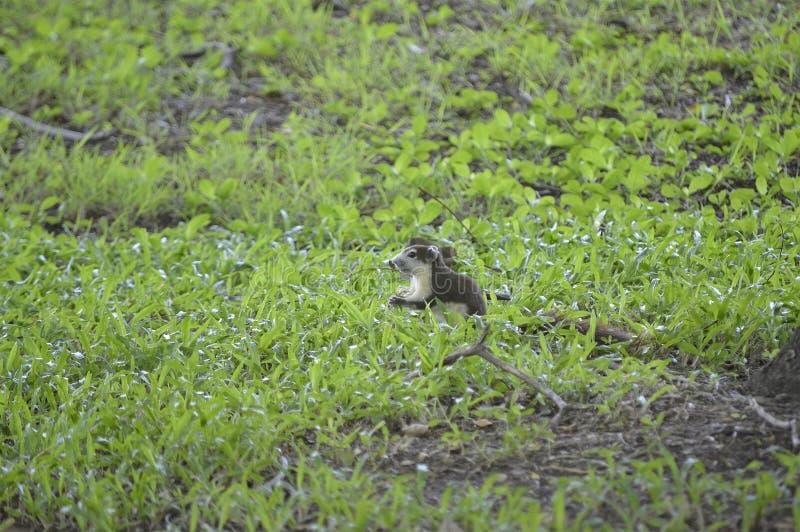 Eichhörnchen für Lebensmittel lizenzfreie stockfotografie
