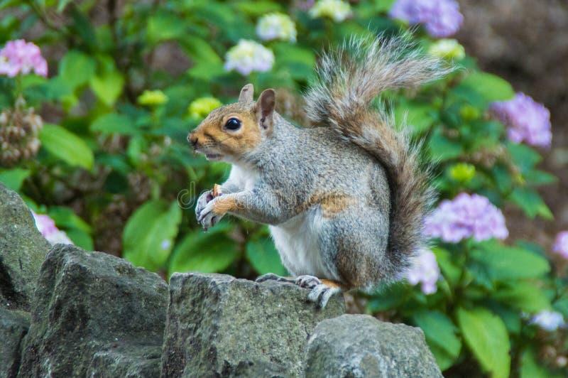 Eichhörnchen gehockt auf Wand lizenzfreies stockbild