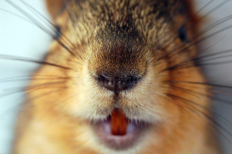 Eichhörnchen-Gesicht lizenzfreies stockbild