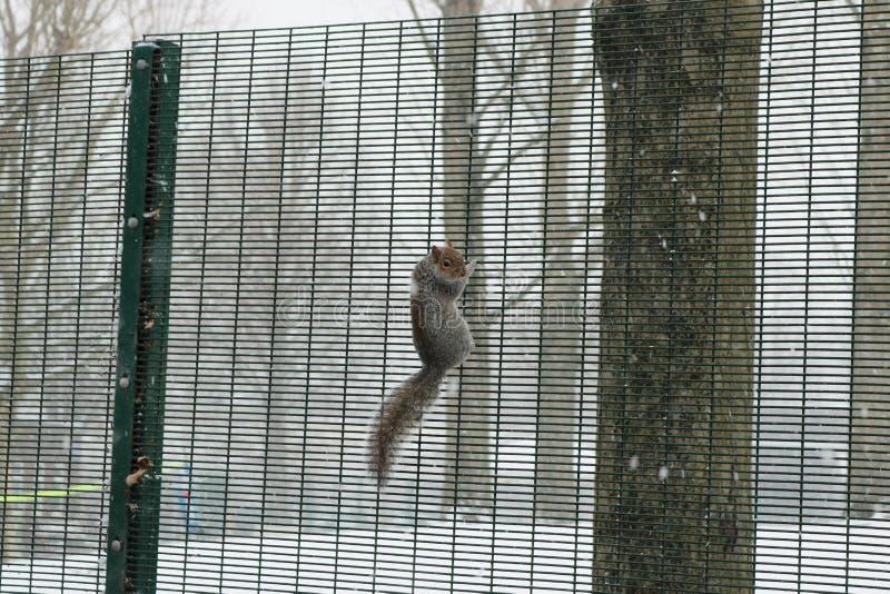 Eichhörnchen glatt lizenzfreie stockfotos