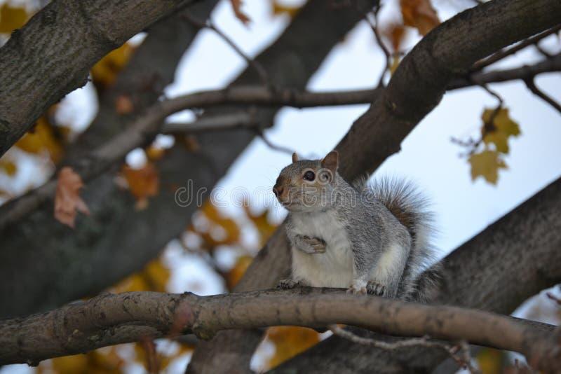 Eichhörnchen im Baum stockfotografie