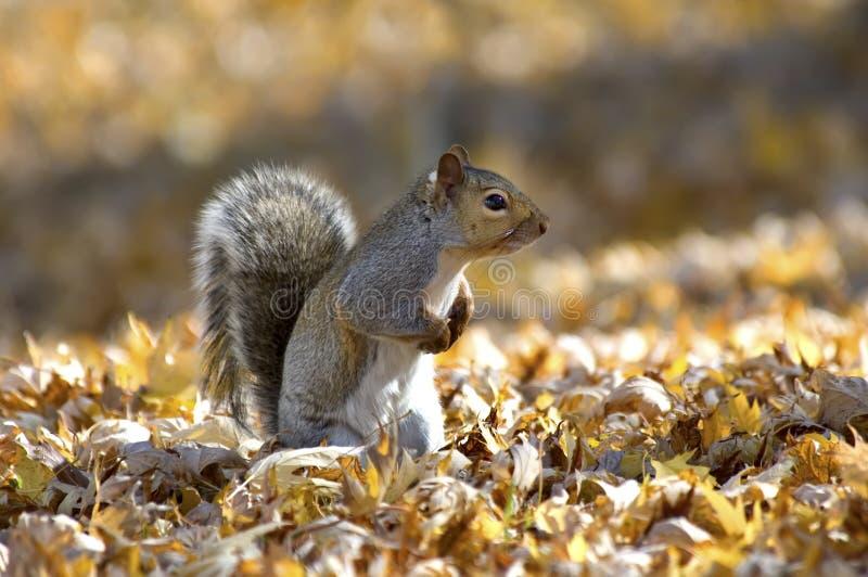 Eichhörnchen im Herbst lizenzfreies stockbild