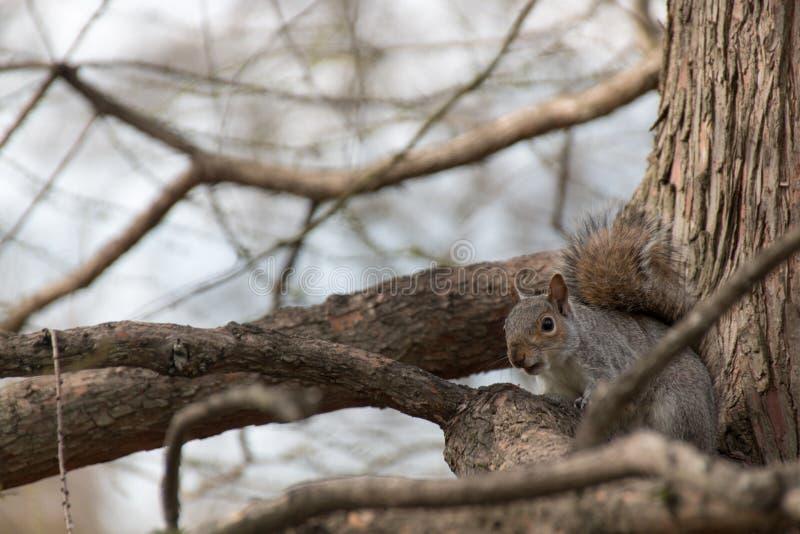 Eichhörnchen im Holz lizenzfreies stockfoto