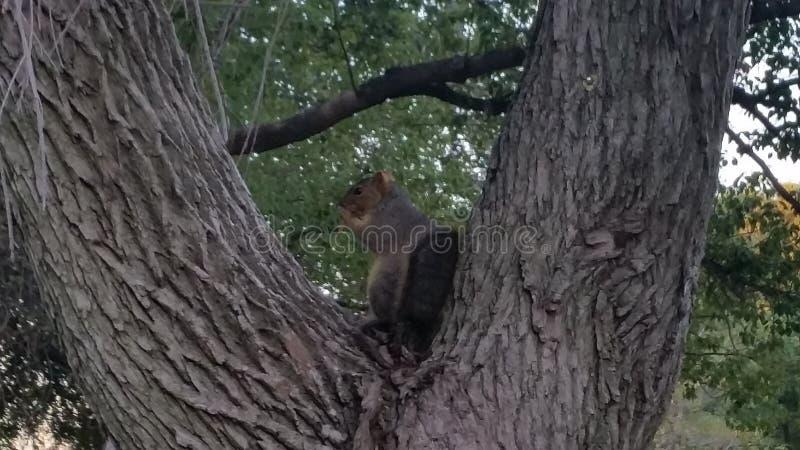 Eichhörnchen im Park stockbilder