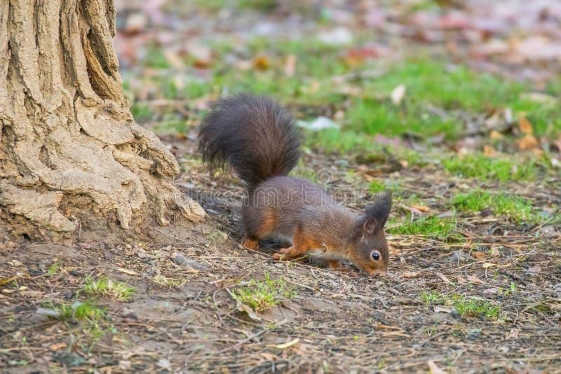 Eichhörnchen im Park Sciurus gemein stockfoto